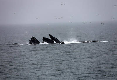 Bubble Netting Whales In Alaska Print by Gary Gunderson