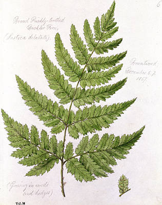 Ferns Painting - Buckler Fern by WJ Linton