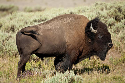 Bufffalo Photograph - Buffalo Bull by D Robert Franz