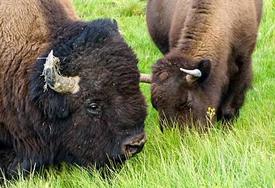 Buffalo Eyes Print by Jon Berghoff