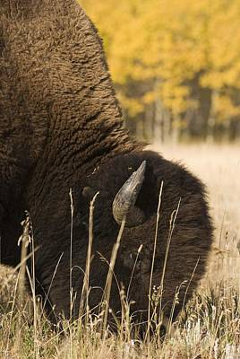 Buffalo Grazing Print by Philippe Widling