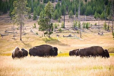 Buffalo In Golden Grass Print by Cindy Singleton