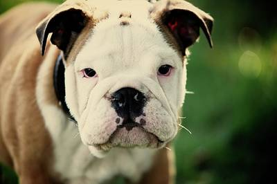 Greenfield Photograph - Bull Dog by Muoo Photography