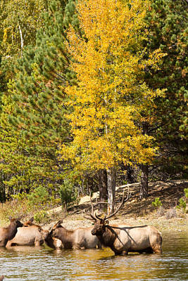 Animal Photograph - Bull Elk Watching Over Herd 3 by James BO  Insogna