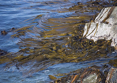 Bull Kelp Bed Print by Bob Gibbons