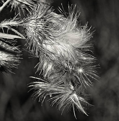 Bull Thistle Monochrome Print by Steve Harrington