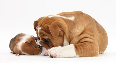 Bulldog Pup And Guinea Pig Print by Mark Taylor