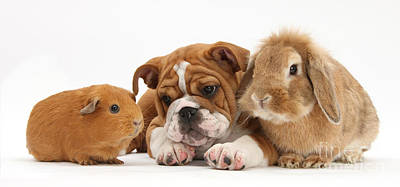 Bulldog Pup With Sandy Lop Rabbit Print by Mark Taylor