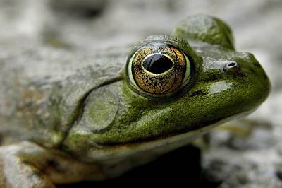 Animals Photograph - Bullfrog by Griffin Harris