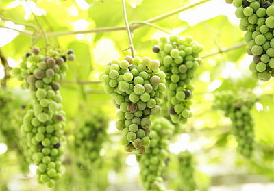 Y120907 Photograph - Bunch Of Grape by Sot
