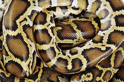 Burmese Python Photograph - Burmese Python, Close Up, Overhead View, Studio Shot by Martin Harvey