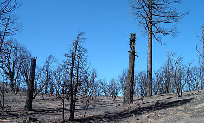 Burned Trees In California Print by Naxart Studio