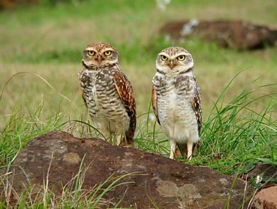 Burrowing Owl Print by Antonello