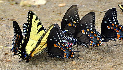 Butterflies By The Buches Print by Marty Koch