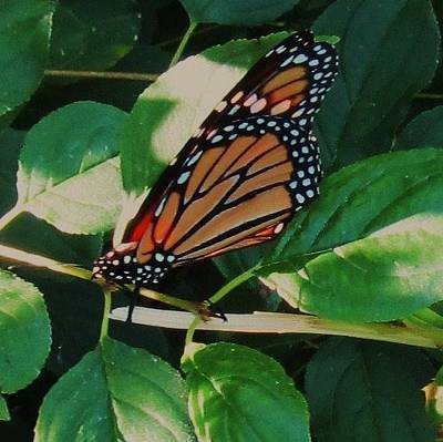Photograph - Butterfly-1 by Todd Sherlock