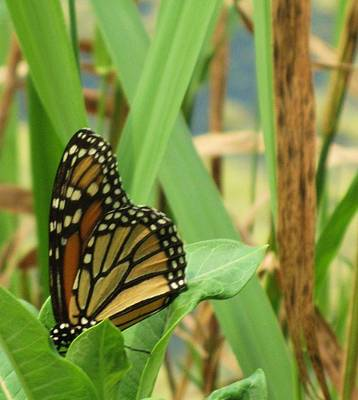 Photograph - Butterfly-2 by Todd Sherlock
