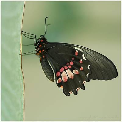Butterfly At Rest Print by ©Joanne Hamblin
