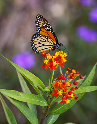Butterfly Closeup Print by Joe Myeress
