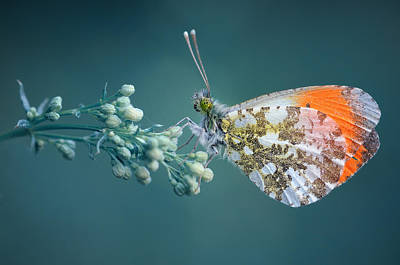 Butterfly On Blue Background Print by GilG Photographie