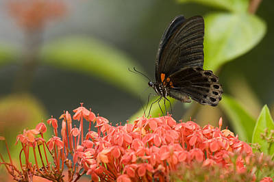 Danum Valley Conservation Area Photograph - Butterfly Papilio Memnon Feeding by Tim Laman