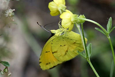 Butterfly - Yellow Sulphur On Yellow Print by Travis Truelove