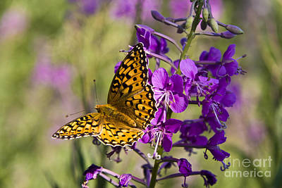 Montana Photograph - Butterly On Wild Lupine Boloria Chariclea by Scotts Scapes