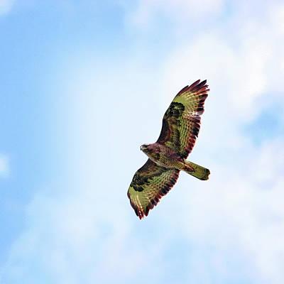 Buzzard Photograph - Buzzard In Flight by Marcel ter Bekke