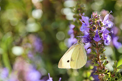 Cabbage White Butterfly Photograph - Cabbage White Butterfly by Heidi Smith