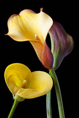 Calla Lilies Still Life Print by Garry Gay