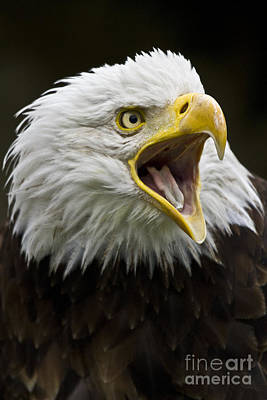 Ailing Photograph - Calling Bald Eagle - 4 by Heiko Koehrer-Wagner