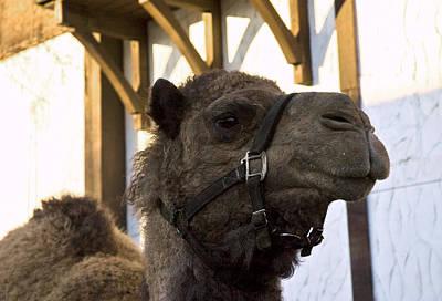 Camel Photograph - Camel In Frankenmuth Michigan by LeeAnn McLaneGoetz McLaneGoetzStudioLLCcom