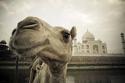 Camel In Front Of The Yamuna River And Print by David DuChemin