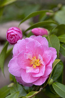 Camellia Photograph - Camellia Camellia X Williamsii Donation by VisionsPictures