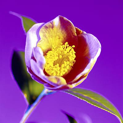 Camellia Flower (camellia Sp.) Print by Johnny Greig