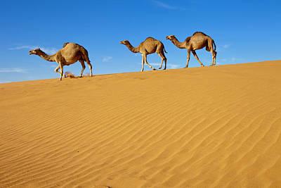 Arabia Photograph - Camels Walking On Sand Dunes by Saudi Desert Photos by TARIQ-M
