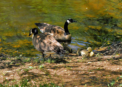 Geese Photograph - Canada Goose Family Group - C2174c  by Paul Lyndon Phillips
