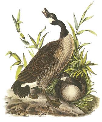 Canada Goose Print by John James Audubon