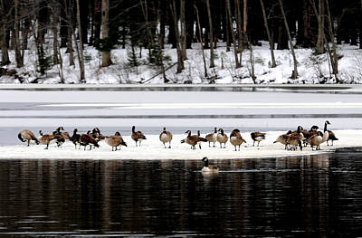 Yellowstone Digital Art - Canadian Gees At Farrington Lake by Aron Chervin