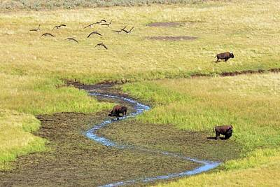 Of Birds Photograph - Canadian Geese And Bison, Yellowstone by Brian Bruner