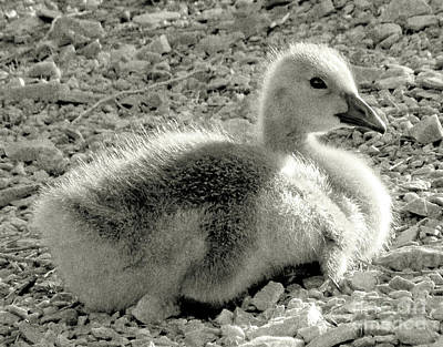 Canadian Gosling Print by Janeen Wassink Searles