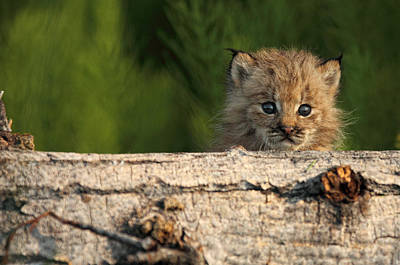 Canadian Lynx Photograph - Canadian Lynx Kitten Looking by Robert Postma