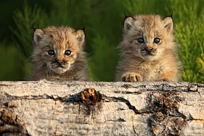 Canadian Lynx Photograph - Canadian Lynx Kittens Looking by Robert Postma