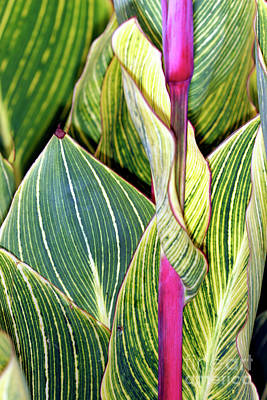 Canna Lily Foliage Print by Dr Keith Wheeler