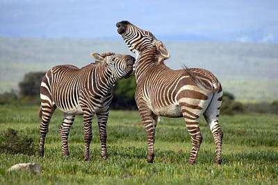 Cape Mountain Zebra Stallions Sparring Print by Peter Chadwick