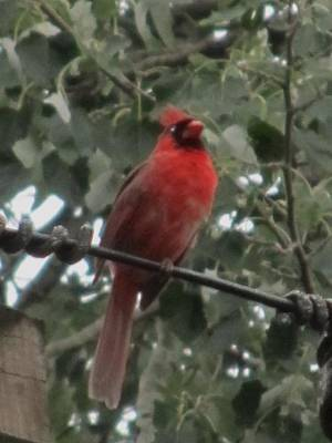 Photograph - Cardinal-2 by Todd Sherlock