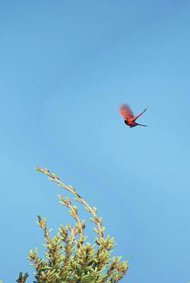 Cardinal In Full Flight Digital Art Print by Thomas Woolworth