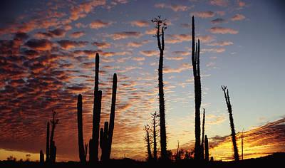 Cardon Cacti At Sunset Print by Axiom Photographic