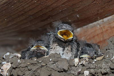 Tablou Photograph - Caring For Baby Birds Www.pictat.ro by Preda Bianca Angelica