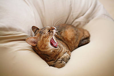 Cat Yawn On Bed Print by Junku