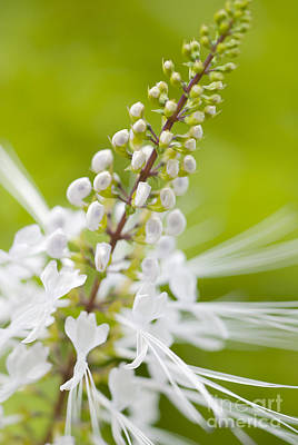 Cats Whiskers Bloom Photograph - Cat'swhiskers by Ivy Ho
